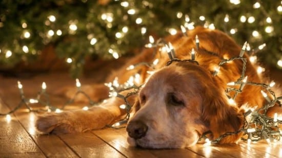 Fairy lights, dog