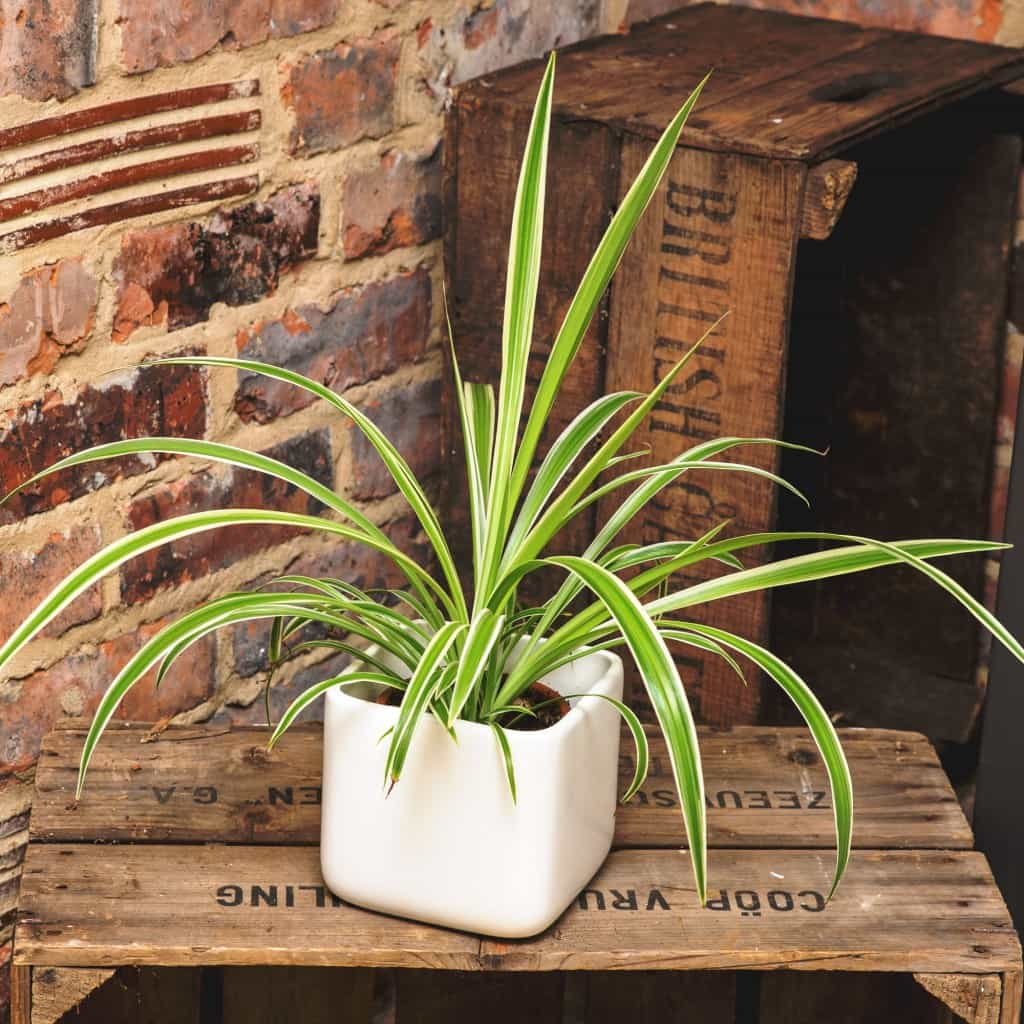 % easy to care for houseplants, spider plant