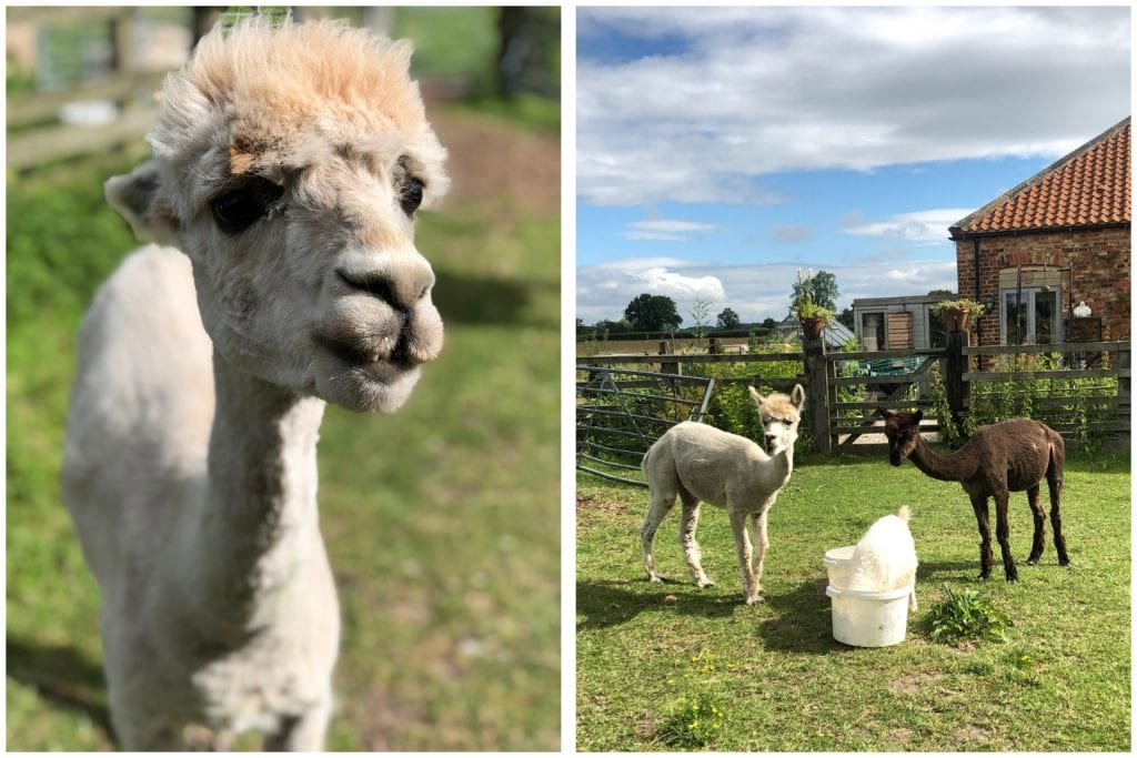 Hornington Manor, animals, Alpacas